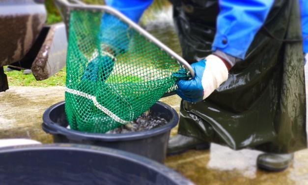 Seeforellen für den Halterner Stausee