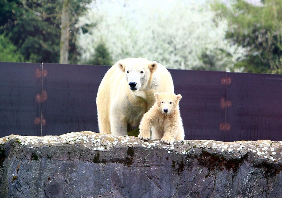 Eisbärbaby Nanook mit ihrer Mutter Lara hoch auf dem Felsen beim ersten Auftritt in der Zoom Erlebniswelt.