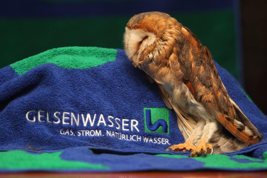 Due Eule von der Vogelpflegestation Paasmühle kuschelt mit dem Gelsenwasser-Handtuch.