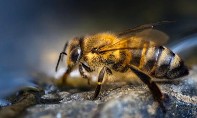 Weltbienentag: Bienen brauchen Wasser