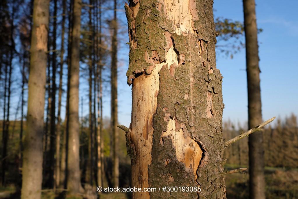 Dürreschäden am Baumstamm: